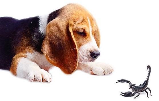 O que fazer se o seu animal for picado por escorpião ou aranha marrom?