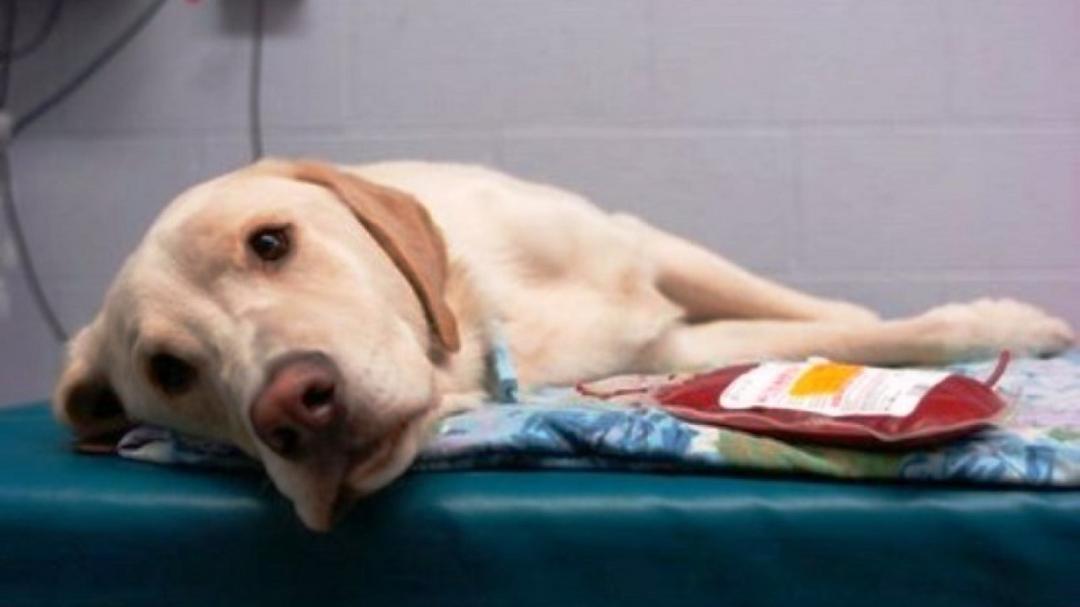 Universidade de Londrina recruta cães doadores de sangue
