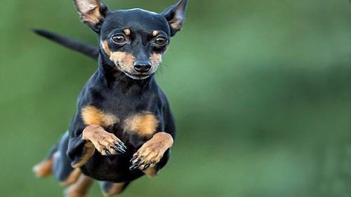 Cães de pequeno porte têm truque para enganar cães maiores, diz estudo