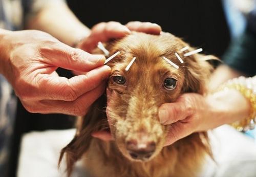 Conheça os benefícios da acupuntura para a saúde dos pets