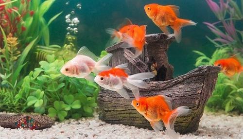 Saiba como ter um aquário em casa sem prejudicar o bem-estar dos peixinhos