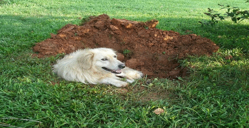 Por que os cães cavam antes de se deitar?
