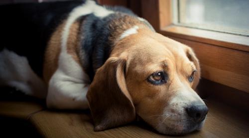 Cachorro também tem depressão: saiba o que fazer