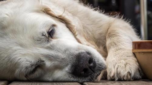 Alzheimer em animais: como lidar?